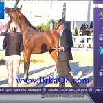 تقرير قناة bein sports عن جمال الخيول العربية ولقاء مع حفيدة سمو الأمير